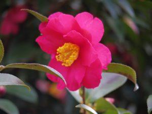 椿の花(AFで撮影)