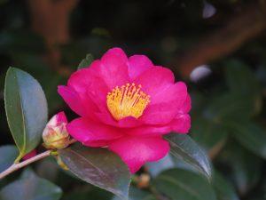 椿の花(MFで撮影)